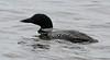 Common Loon (jd.willson) Tags: nature birds island wildlife birding maine jd common loon willson islesboro jdwillson