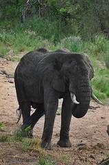 DSC_1179 (Arno Meintjes Wildlife) Tags: elephant nature animals wildlife safari krugerpark africanelephant loxodontaafricana africanbushelephant arnomeintjes