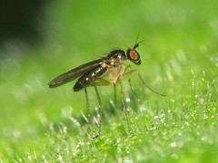 Anepsiomyia flaviventris (ruiamandrade) Tags: insectos nature fly natureza insects mosca diptera flaviventris dolichopodidae anepsiomyia