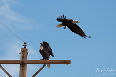 2 of 8 - Bald Eagle chases off another eagle