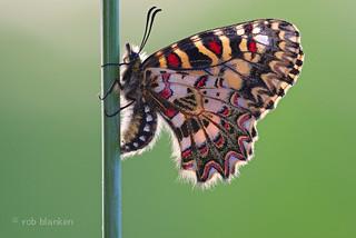 Spanish Festoon (Zerynthia rumina, Spaanse pijpbloemvlinder)