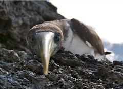MALPELOV1 (Y04N) Tags: mar colombia isla gaviota valledelcauca malpelo