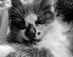smudge (green rumble) Tags: sleeping blackandwhite cats kittens whiskers bnw