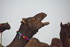 Camel shouting (Sapna Kapoor) Tags: light india worship pushkar rajasthan ghat holyplace sarowar