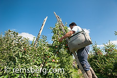 Worker picking apples at an apple orchard in Aspers, Pennsylvania, USA (Remsberg Photos) Tags: usa man apple fruit workers pennsylvania labor farming seasonal harvest orchard ag farms agriculture picking ladders aspers