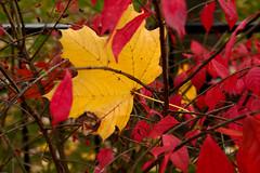 The Colors of Autumn (chrishowardphotography.com) Tags: autumncolors autumntrees thecolorsofautumn autumninohio autumninavondale