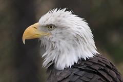 Bald Eagle (bbosica20) Tags: nature beautiful birds montana eagle wildlife baldeagle eagles birdsofprey americanbaldeagle westyellowstone grizzlyandwolfdiscoverycenter 2013 august2013 northernamericanbaldeagle