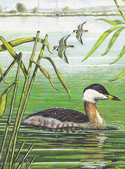 Red-necked Grebe (Podiceps grisegena), by Roy Weller