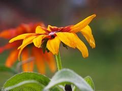 yellow (Vurnman) Tags: california flower yellow nevadacity norcal nevadacounty