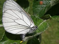 Glogova belinka odlaga jajčeca na list jablane (natalija2006) Tags: white butterfly eggs aporia crataegi metulj blackveined glogova belinka jajčeca