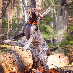 Piper looking very thoughtful on our hike last weekend. (See, @steeplechasegirl ? She DOES stand still every now and then!!) #gsp #puppy #pointer #gspoftheday #latergram #puppygram (The_Little_GSP) Tags: square squareformat hudson iphoneography instagramapp uploaded:by=instagram