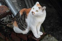 I'm looking at you, don't move! (conan-liu) Tags: cat mix  ef70200mmf4lisusm canoneos60d