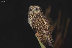 Coruja do Nabal, Short-eared Owl (Asio flammeus) - em Liberdade [in Wild] (Nuno Xavier Moreira) Tags: shortearedowl asioflammeus corujadonabal shortearedowlasioflammeusemliberdadeinwildnunoxavierlopesmoreira
