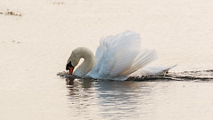 Mute Swan (DavidHowarthUK) Tags: november suffolk minsmere muteswan 2014 rspb