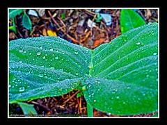 colacasia leafs (kesuvina yele) (mohan mukesh) Tags: morning india mist water leaf drops western karnataka waterdrops incredible ghats aldur malenadu chikamagalur westernghat chikamagalore karnataaka