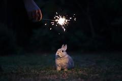[18/52] Happy New Year! (emilykember) Tags: light cute rabbit bunny grass night canon project dark 50mm hand oliver bokeh fawn newyearseve photomerge sparkler spark newyearsday happynewyear 6d netherlanddwarf 52weeks 52weeksproject itsagiraffe 52weeksoflunaandoliver newyearseve2015 newyearsday2015