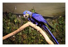 Vancouver-20141129-417 (Sunil Mishra) Tags: canada vancouver bc britishcolumbia stanleypark vancouveraquarium macaw