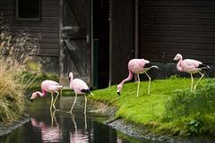 20141220_F0001: Flamingos exploring, exploring flamingos (wfxue) Tags: wood pink house building bird nature water grass animal pond flamingo beak feathers plank wwt slimbridge lesserflamingo