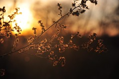 the day ends in gold (christiaan_25) Tags: flowers winter light sunset nature gold day glow sundown seeds explore end glowing 73 aster seedheads dec202014