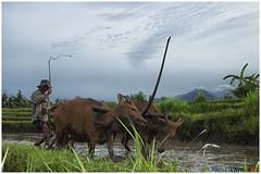 Metekap (kamesvara) Tags: farmer plowing ricefields buffaloes sawah jembrana metekap