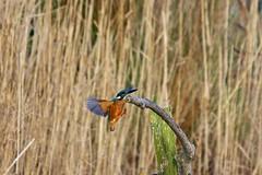 Martin-pêcheur d'Europe Alcedo atthis - Common Kingfisher DSC00451 (cedric provost) Tags: france bird bretagne cedric oiseau provost finistere guisseny lecurnic