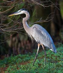 _AAB1511.jpg (Lake Worth) Tags: bird nature birds animal animals canon wings florida wildlife feathers wetlands everglades waterbirds southflorida 2xextender sigma120300f28dgoshsmsports