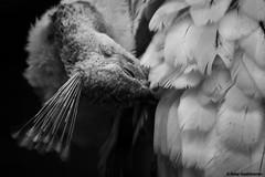 White Peacock (BALAJI SEETHARAMAN) Tags: white black monochrome beauty birds feathers peacock scratch canon600d