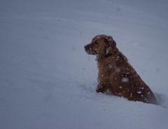 Snow beauty (Tomislav C.) Tags: dog snow storm dogs nature animal animals female snowflakes natural snowstorm croatia zagreb flakes enjoyment pentaxk3