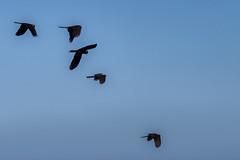 Black Cockatoos (DrSchabbs) Tags: ocean summer black nature coast december australia victoria cape cockatoo greatoceanroad rhys davies otway capeotway rhysdavies drschabbs
