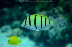 Gebande doktersvis - Acanthurus triostegus - Convict Tang (MrTDiddy) Tags: fish zoo band antwerp convict vis antwerpen zooantwerpen tang dokter acanthurus dokters triostegus doktersvis gebande