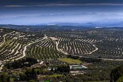 D3215-Perspectiva expansiva (Olivares de beda) (Eduardo Arias Rbanos) Tags: sky cloud mountain tree landscape arbol lumix olive paisaje panasonic cielo g6 montaa nube olivegrove olivo beda olivar eduardoarias eduardoariasrbanos