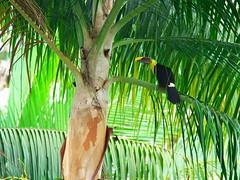 P4278794 (lychee_vanilla) Tags: bird animal toucan costarica tier tucn blackmandibledtoucan ramphastosambiguus vigel quioro tucnpiconegro