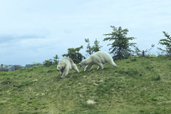 Polar Bears (Peter Stahl Photography) Tags: polarbear bear winnipeg journeytochurchill captive
