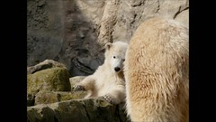 LILI, very much Lili (BrigitteE1) Tags: portrait baby white germany de geotagged cub europe polarbear lili bremerhaven zooammeer ijsbeer  eisbr  isbjrn ursopolar osopolar  jegesmedve orsopolare jkarhu kutupays  nanoq sbjrn  niedwiedpolarny polarnimedvjed  polarbearcublili