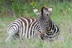 Suedafrika-37 (Lukas P Schmidt) Tags: nationalpark zebra krugerpark