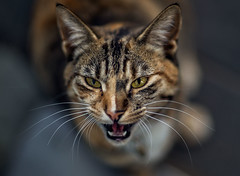 The neighbor's cat (Cyjinx) Tags: animals see high darkness killing near niche teeth small ears sharp mice human anatomy strong prey senses sounds fit hear faint adapted ecological retractable crepuscular flexible frequency reflexes predatory felids clasws
