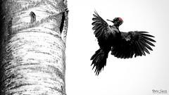 There she is... (Stefan Gerrits aka vanbikkel) Tags: park bw white black bird nature birds espoo finland woodpecker outdoor centralpark wildlife specht puisto lintu blackwoodpecker dryocopusmartius palokärki zwartespecht canon5dmarkiii vanbikkel espoonkeskuspuisto canonef500mmf4liiusm