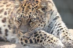 Amur Leopard (kylennadine) Tags: cats nature saint animal animals cat photography zoo louis big feline wildlife leopard felines zoos amur leopards