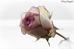 3d roos 6-6-2016 (nvp74) Tags: flowers white flower art love nature colors beauty rose closeup canon outside eos 3d flora foto fotografie kunst natuur plasticfantastic m bloemen kleuren bewerkt 500d voorwerpen creatief voorwerp canoneos500d tassyfotografie