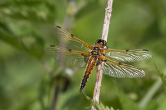 Four Spotted chaser-6570 (WendyCoops224) Tags: canon four eos spotted chaser 70d 100400mml rspblakenheath wendycooper