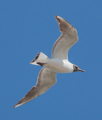 IMG_5551.jpg (fabienatome) Tags: france nature gard mouette languedocroussillon rserve rieuse scamandre