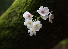 kabukiii (jumbokedama) Tags: roses bees fullmoon cherryblossoms camellia bumblebees wisteria japaneseroses plumblossoms japaneselanterns japaneseflowers moonpictures beesonflowers japanesescenery viewsofjapan rosesofjapan