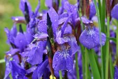 ~~Tremps !!~~ (Jolisa) Tags: blue iris flower macro fleur eau pluie bleu deau gouttelettes juin2016