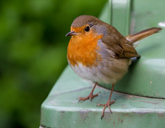 Waiting patiently (Mukumbura) Tags: bird robin britain dustbin wheeliebin