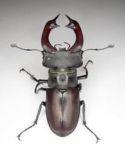 OMG What a beast! Lucanus cervus (bKarolyi [HU]) Tags: stag european beetle nagy lucanus cervus szarvasbogr