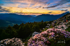 Sunrise @ Mt. Hehuan (Jennifer ) Tags: park morning mountain flower sunrise landscape image taiwan  national rhododendron  taroko   nantou                      alpinesrhododendrons