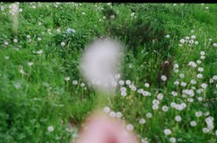netleyemiyorum (polikarya) Tags: karahindiba outdoor spring campus zenit nature green flower analogue analog bahar odtü metu film photography analogphotography filmisnotdead