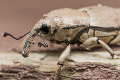 White and Black Weevil with Long Snout (Steven Ellingson) Tags: white elephant macro nature strange animal closeup bug insect wonder nose weird big long outdoor small alien trunk snout weevil whiteweevil trichobaris trichobariscompacta