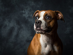 American Bull Dog (Karl Redshaw Photography) Tags: portrait dog pet animal friend canine bulldog american doggy pooch companion loyal americanbulldog snifferdog agilitydog