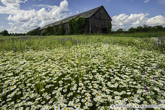 Yankee Farmlands  68 (J. G. Coleman Photography) Tags: flowers abandoned nature beautiful field daisies barn landscape outdoors farm connecticut newengland farmland daisy windsor wildflowers agriculture idyllic tobaccoshed tobaccovalley southernnewengland oxeyedaises